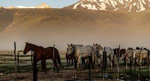 Chevaux retournant au corral de ranch près de Bridgeport, la Californie photo libre de droits