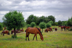 Chevaux rouges Image stock