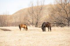 Chevaux rouges et noirs frôlant dans le domaine contre les collines Photographie stock