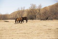 Chevaux rouges et noirs frôlant dans le domaine contre les collines Photos stock