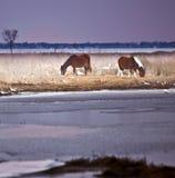 Chevaux sauvages à l'île d'Assateague, DM en hiver Images libres de droits