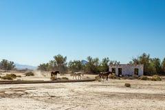 Chevaux sauvages à la jonction de Death Valley Images libres de droits