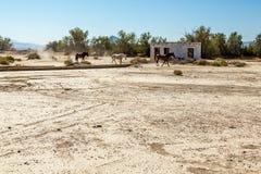 Chevaux sauvages à la jonction de Death Valley Image libre de droits