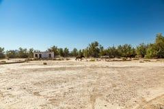 Chevaux sauvages à la jonction de Death Valley Photographie stock libre de droits