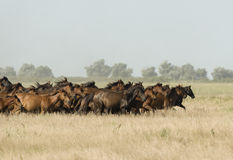 Chevaux sauvages à un galop Photographie stock libre de droits