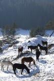 Chevaux sauvages Image libre de droits