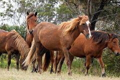Chevaux sauvages Photo stock