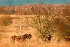 Chevaux sauvages Photos libres de droits