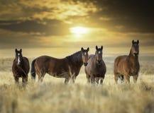 Chevaux sauvages Images libres de droits