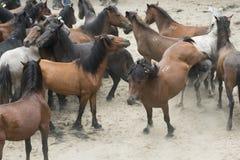 Chevaux sauvages Photographie stock libre de droits