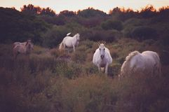 Chevaux sauvages blancs de Camargue, France photographie stock