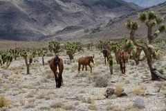 Chevaux sauvages dans le désert du Nevada Images libres de droits