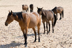 Chevaux sauvages dans le désert Image libre de droits