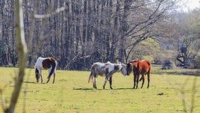 Chevaux sauvages dans nouveau Forest National Park Photographie stock libre de droits