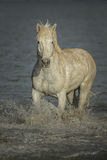 Chevaux sauvages de Camargue photo stock