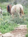 Chevaux sauvages de moitié au pâturage liberté l'israel image stock