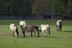 Chevaux sauvages de Tarpan Image stock