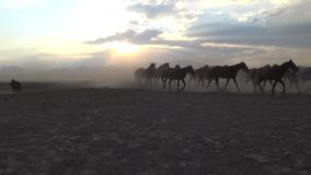 Chevaux sauvages de Yilki dans la campagne, Kayseri, Turquie banque de vidéos