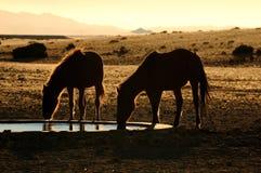 Chevaux sauvages du Namib photo libre de droits
