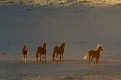 Chevaux sauvages du Namib image stock