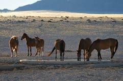 Chevaux sauvages du Namib image libre de droits