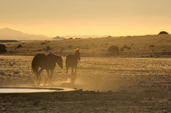 Chevaux sauvages du Namib au coucher du soleil photos stock