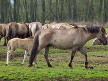 Chevaux sauvages en Allemagne Photo libre de droits