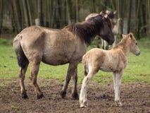 Chevaux sauvages en Allemagne Photos libres de droits