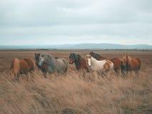 Chevaux sauvages en Islande image libre de droits