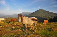 Chevaux sauvages en montagnes carpathiennes, Ukraine Photos stock