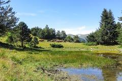 Chevaux sauvages en vallée d'Aran dans les Pyrénées catalans, Espagne Image stock