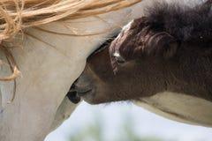 Chevaux sauvages et un amour de mère Image libre de droits