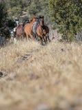 Chevaux sauvages flambant une traînée dans l'herbe sauvage grande image stock