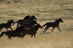 Chevaux sauvages fonctionnant dans l'herbe grande Images libres de droits
