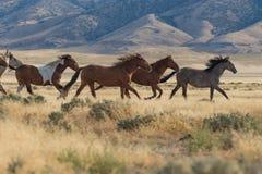 Chevaux sauvages fonctionnant dans le désert de l'Utah photo stock