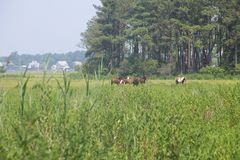 Chevaux sauvages frôlant dans un domaine Images stock
