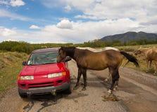 Chevaux sauvages inspectant une voiture dans le désert Image stock