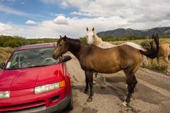 Chevaux sauvages inspectant une voiture dans le désert Photo libre de droits