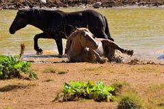 Chevaux sauvages jouant à un étang Image stock