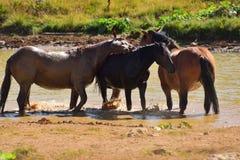 Chevaux sauvages jouant à un étang un jour chaud d'été Image libre de droits