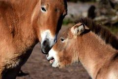 Chevaux sauvages, jument de mère et poulain mongols Images libres de droits