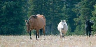 Chevaux sauvages - le créancier de coyote et l'abricot Pale Buckskin brun grisâtre et les étalons noirs chez le cheval sauvage de images libres de droits
