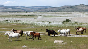 Chevaux sauvages mongols Photographie stock