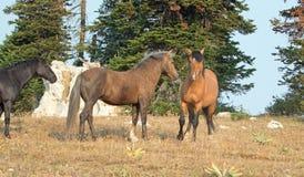 Chevaux sauvages/mustangs faisant face avant le combat dans la chaîne de cheval sauvage de montagnes de Pryor à la frontière du W Images stock