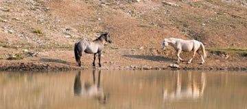 Chevaux sauvages/mustangs faisant face avant le combat dans la chaîne de cheval sauvage de montagnes de Pryor à la frontière du W Photo stock