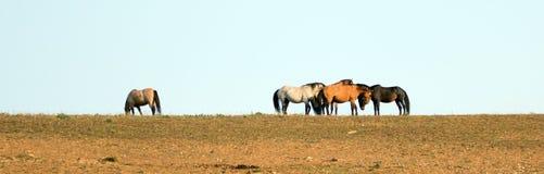 Chevaux sauvages/mustangs faisant face avant le combat dans la chaîne de cheval sauvage de montagnes de Pryor à la frontière du W Photo libre de droits