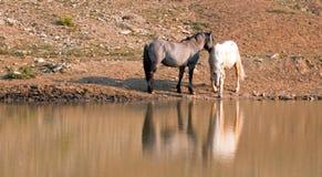 Chevaux sauvages/mustangs faisant face avant le combat dans la chaîne de cheval sauvage de montagnes de Pryor à la frontière du W Image stock