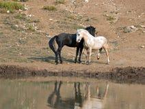 Chevaux sauvages/mustangs faisant face avant le combat dans la chaîne de cheval sauvage de montagnes de Pryor à la frontière du W Images libres de droits