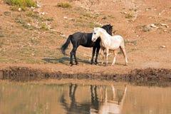 Chevaux sauvages/mustangs faisant face avant le combat dans la chaîne de cheval sauvage de montagnes de Pryor à la frontière du W Photos stock