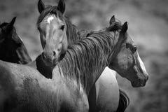 Chevaux sauvages noirs et blancs Photo libre de droits